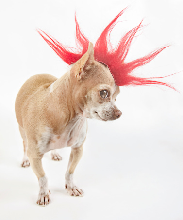 little chihuahua dressing like a punk with a red hair