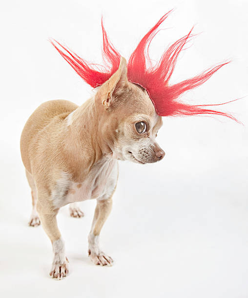 punk little chihuahua dressing like a punk with a red hair spiked stock pictures, royalty-free photos & images