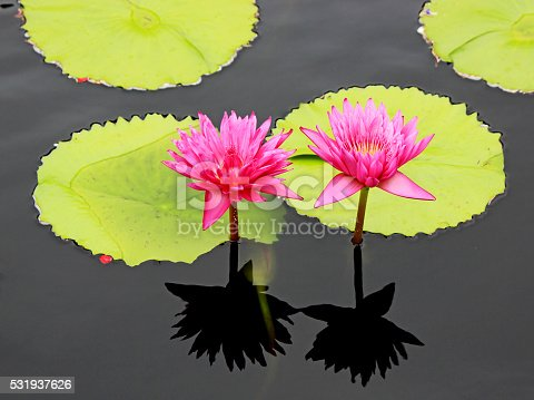 Bright pink water lilies, lotuses