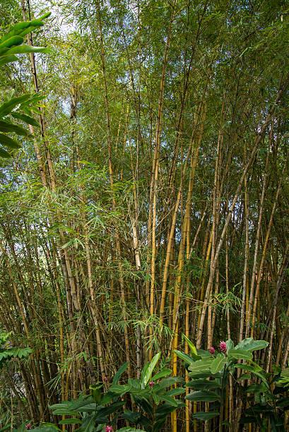 Puntarenas costa rica bamboo trees stock photo