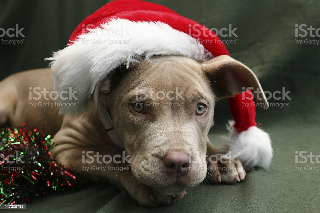 Pup in a Christmas Hat royalty-free stock photo
