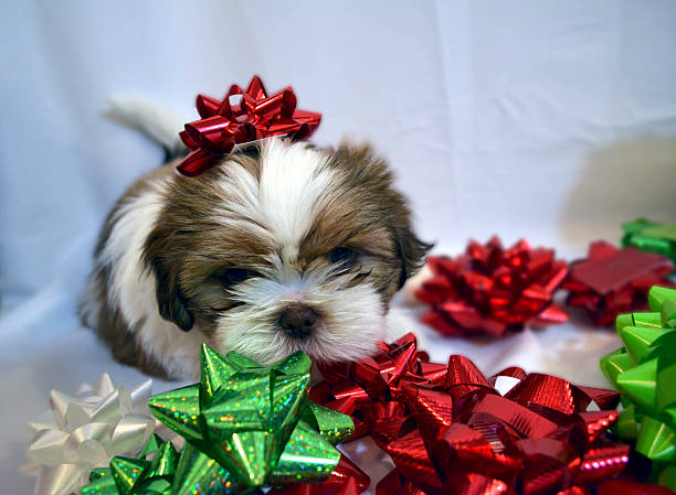 Pup with red bow stock photo
