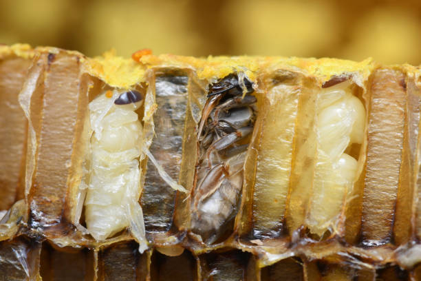 Pupa Honey Bee in bee hive. stock photo