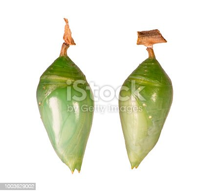 istock Pupae of the blue-banded morpho and the blue morpho butterfly isolated on white 1003629002