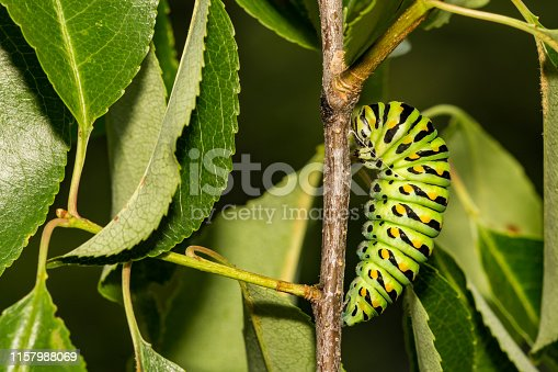 A close up of a Black Swallowtail Caterpillar pupating on a branch in the garden.