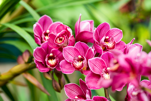 puple cymbidium flower