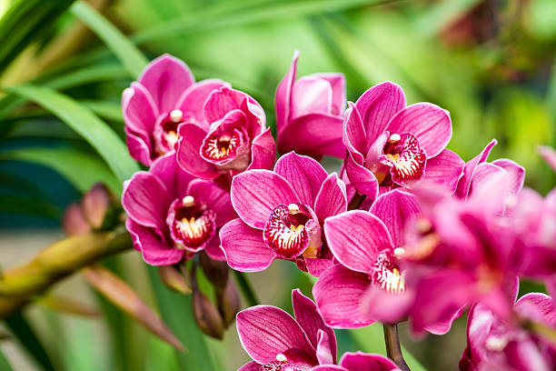 puple cymbidium flower - orchidea foto e immagini stock