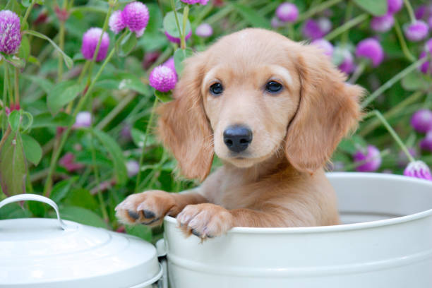 Puppy white cans and 千日紅 Puppy white cans and 千日紅 dachshund stock pictures, royalty-free photos & images