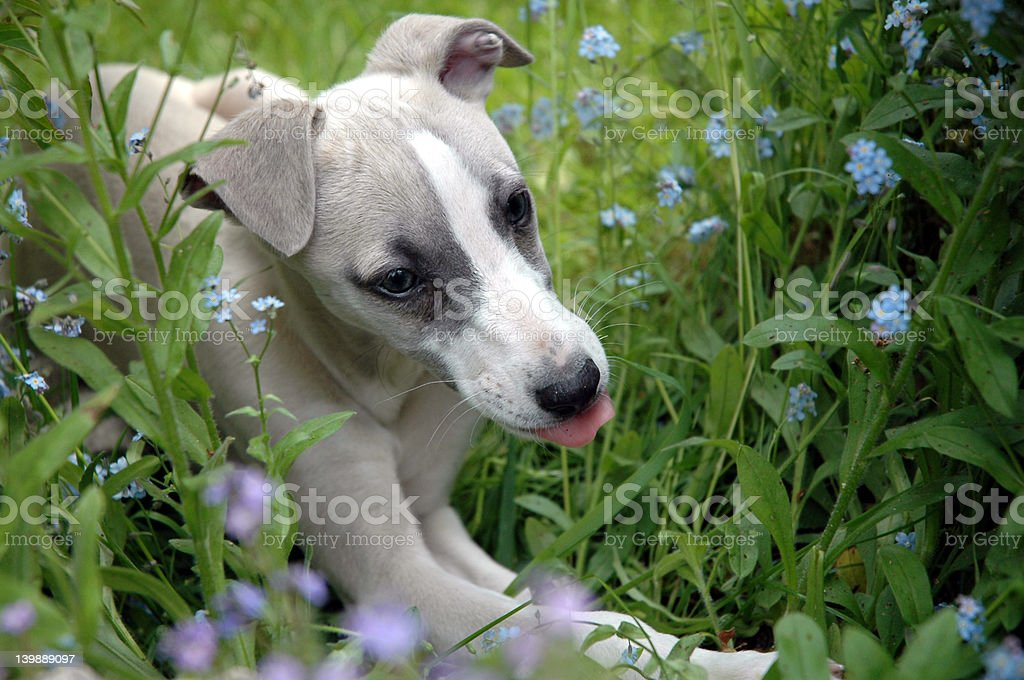 Puppie Whippet royalty-free stock photo