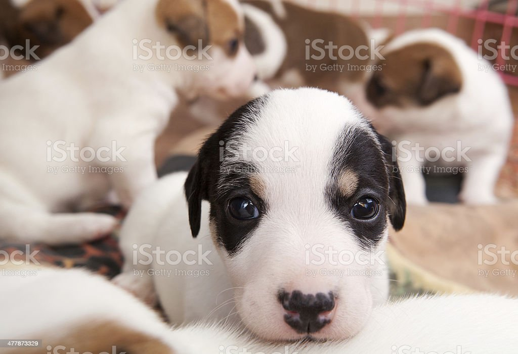 puppies 2 months old royalty-free stock photo