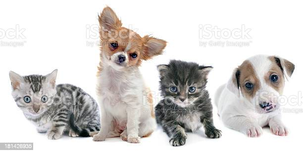 Puppies and kitten picture id181426935?b=1&k=6&m=181426935&s=612x612&h=khfdrzegn dihvfohkzbby5gouhkt mgkzfyoe9y934=