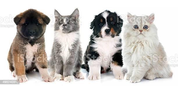 Puppies and kitten picture id495240312?b=1&k=6&m=495240312&s=612x612&h=zkpas4ypxtilixpspdssobicaz2lg6obiizzmibrbfm=