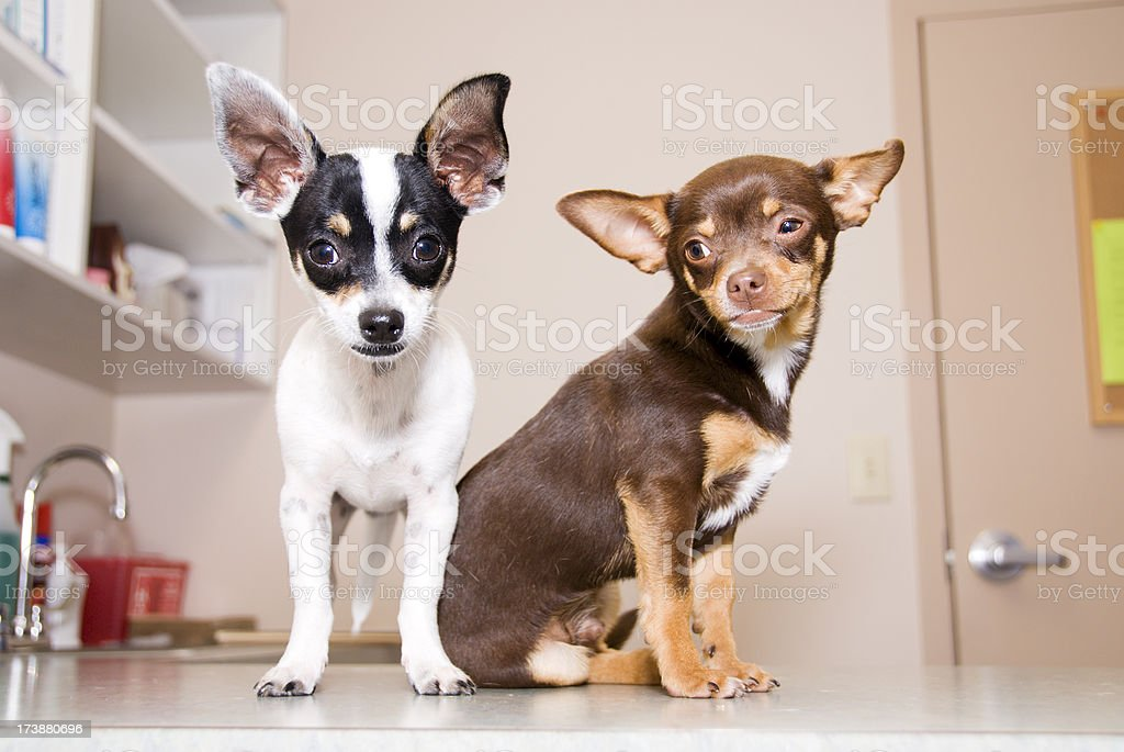 Puppies at the Vet royalty-free stock photo
