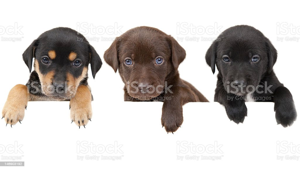 Puppies banner stock photo