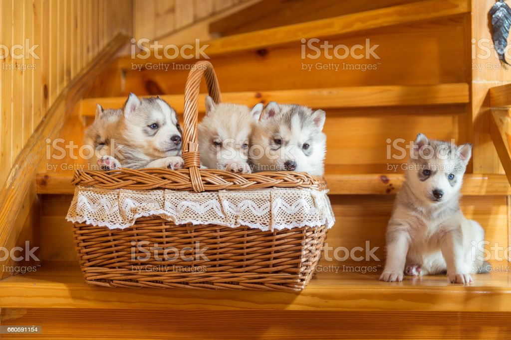 Puppies breed Siberian Husky sitting in a straw basket royalty-free stock photo