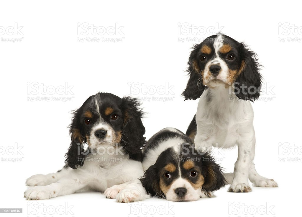 puppies Cavalier King Charles Spaniel (3 months) royalty-free stock photo