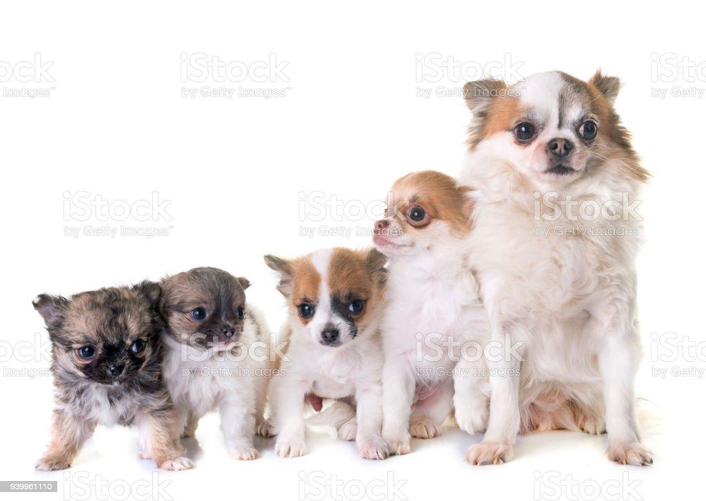 Fotografía de Adultos Y Cachorros Chihuahua y más banco de imágenes ...