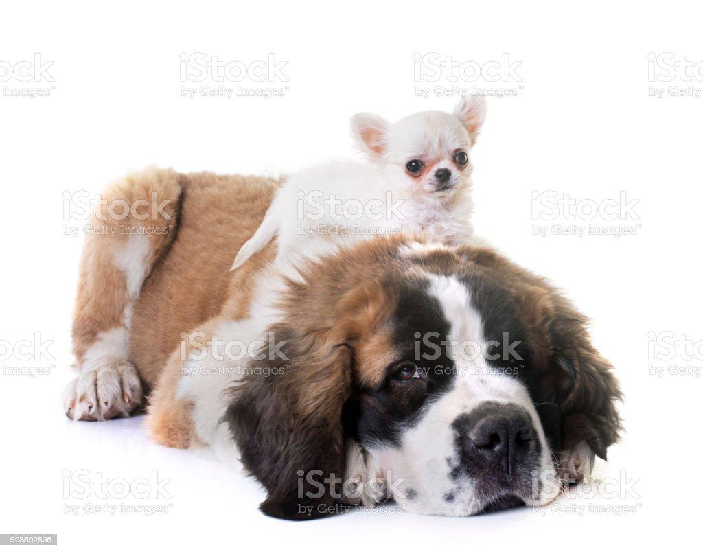 puppies chihuahua and saint bernard stock photo