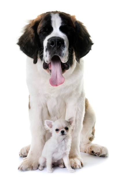 puppies chihuahua and saint bernard stock photo