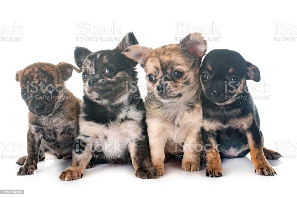 puppies chihuahua royalty-free stock photo