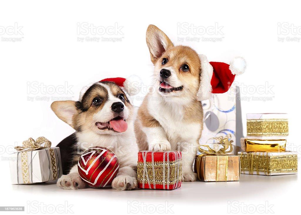 puppies  corgi wearing a Santa hat, New Year's stock photo