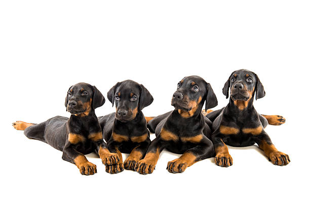 Puppies doberman pinscher stock photo