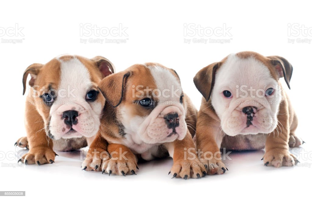bulldog anglais chiots - Photo