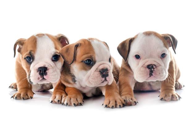 bulldog anglais chiots - Photo