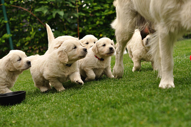 Puppies flocking after their mother stock photo