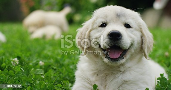 Puppies Golden Retriever breed with pedigree playing, running they roll in the grass in slow motion. concept of softness, love of animals, family, puppies and dog.