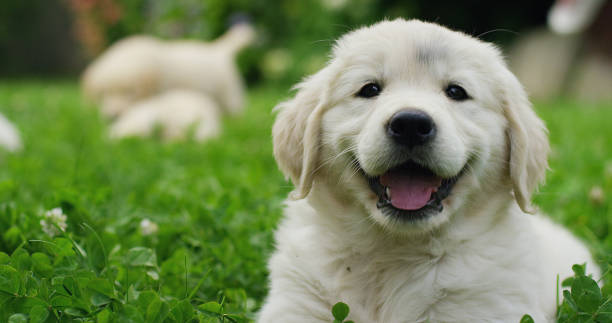 Puppies Golden Retriever breed with pedigree playing, running they roll in the grass in slow motion. Puppies Golden Retriever breed with pedigree playing, running they roll in the grass in slow motion. concept of softness, love of animals, family, puppies and dog. baby animals stock pictures, royalty-free photos & images