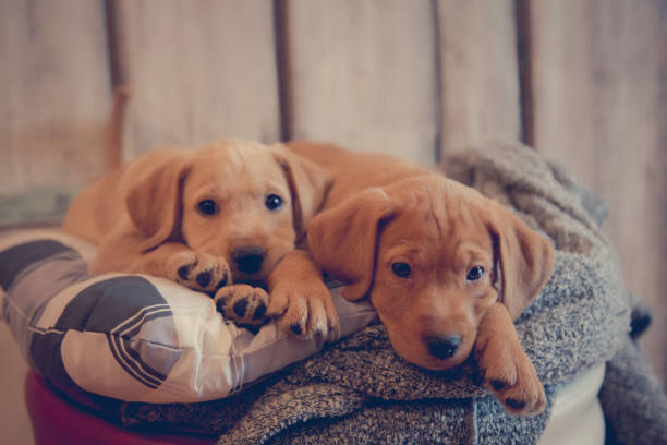 Puppies having a rest stock photo