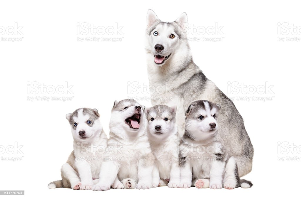 Puppies Husky sitting together with mum - foto de stock