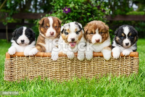 istock Puppies in a basket 599761230