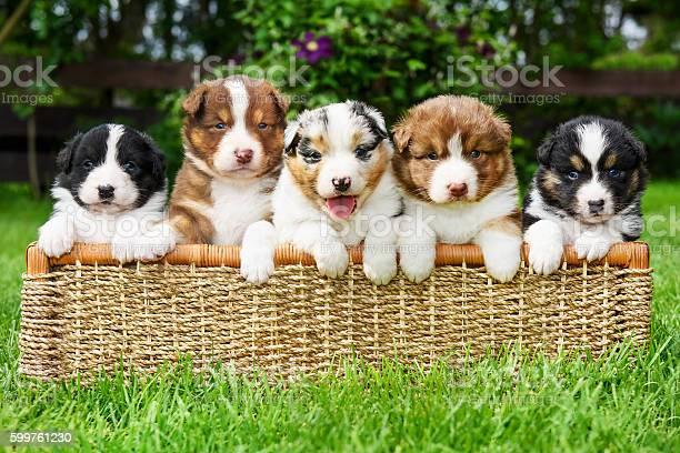 Puppies in a basket picture id599761230?b=1&k=6&m=599761230&s=612x612&h=gi3 ls x8phf4auektkc24n6z8cxi1b5akhqcggvliy=