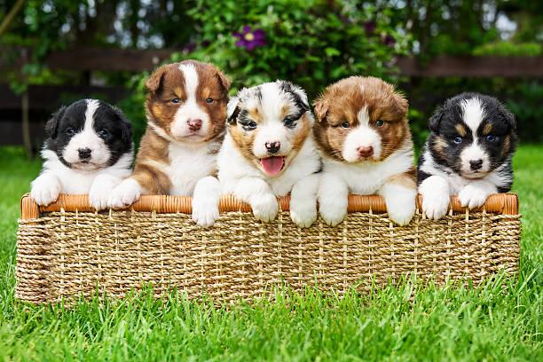 Puppies in a basket picture id599761230?b=1&k=6&m=599761230&s=612x612&w=0&h=30jbomuwdpzkp00caaqicf h5ggx6coimnvi lhpyy4=