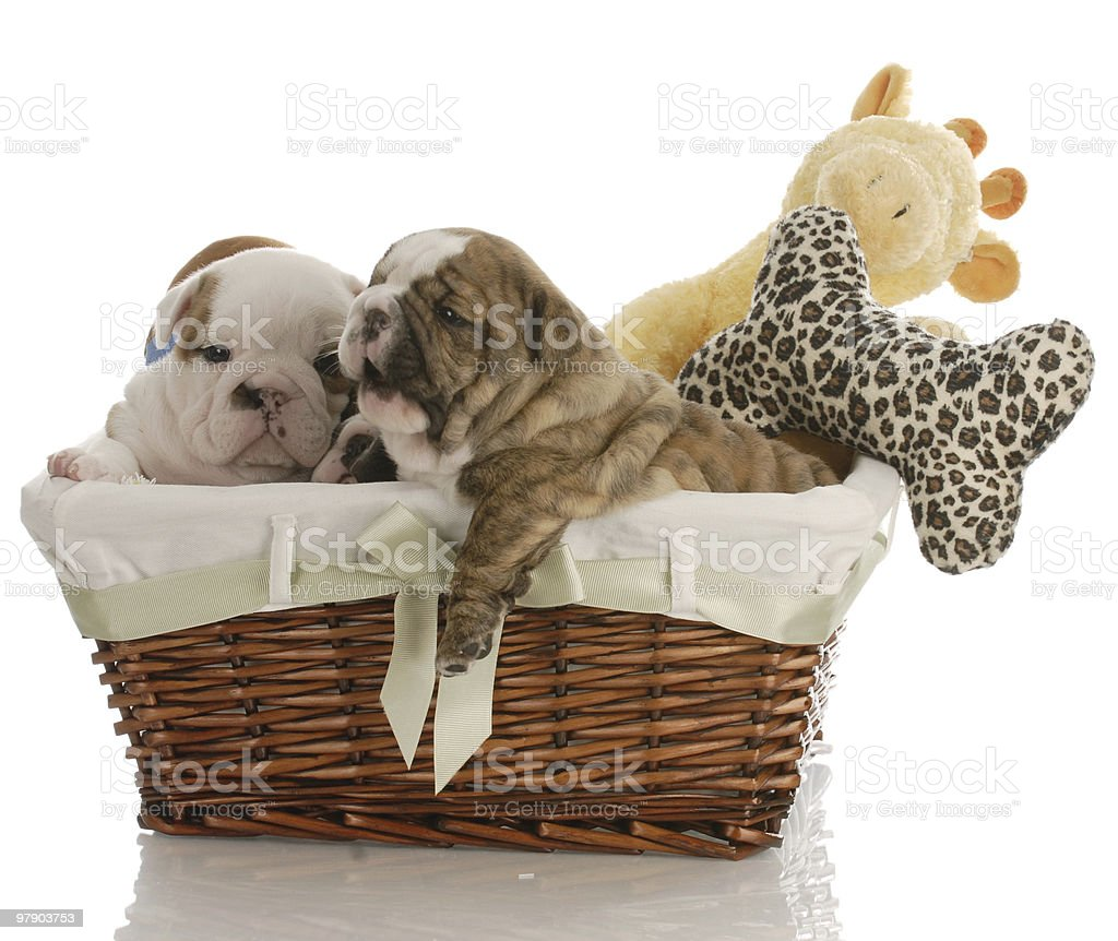 puppies in a basket royalty-free stock photo