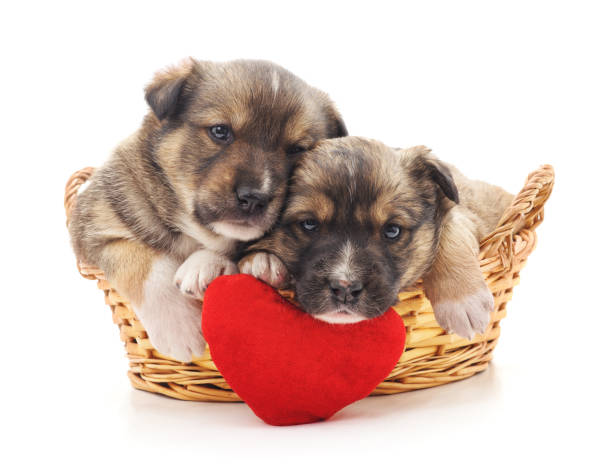 Puppies in a basket with a toy heart. Puppies in a basket with a toy heart isolated on a white background. cat valentine stock pictures, royalty-free photos & images