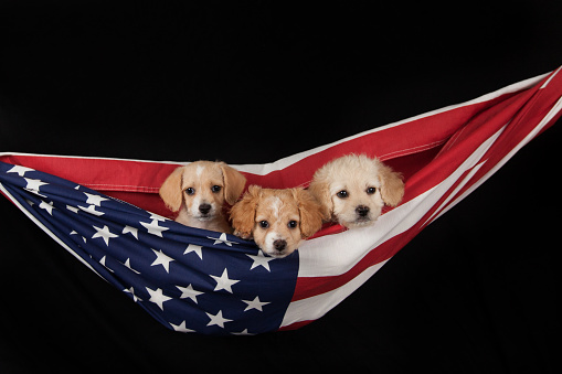 Puppies In A Flag Stock Photo - Download Image Now - iStock