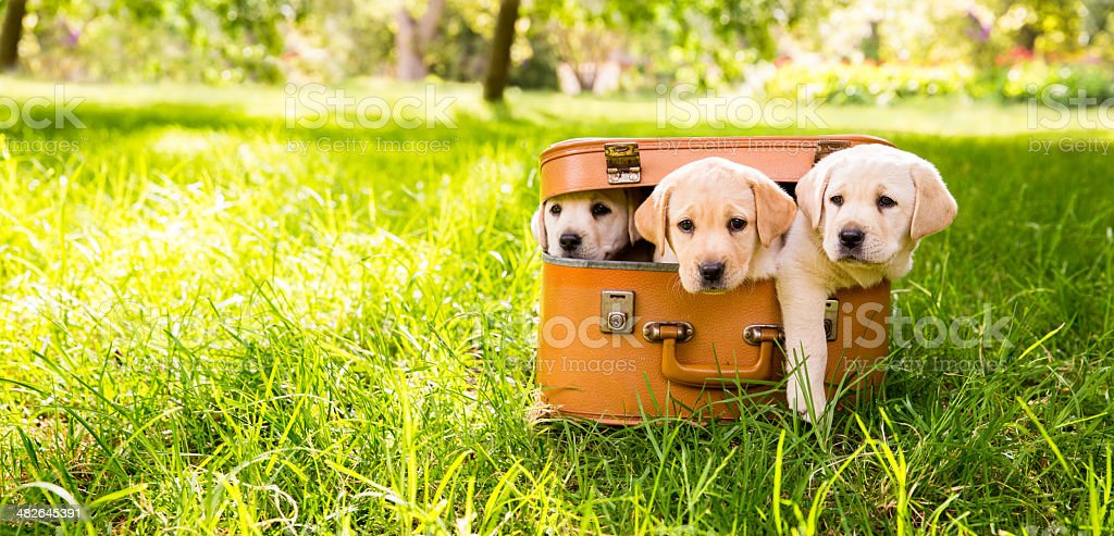 Puppies in suitcase stock photo