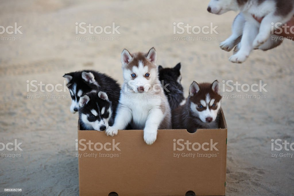 Puppies in the box stock photo