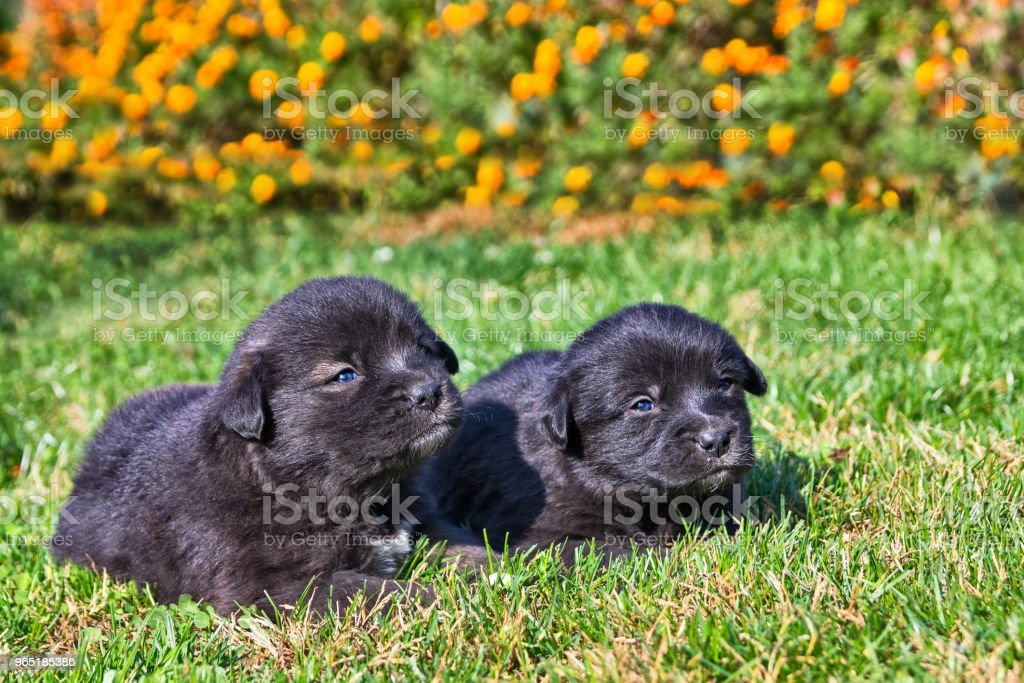 Puppies in the grass royalty-free stock photo