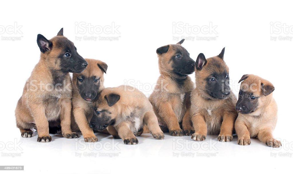 puppies malinois royalty-free stock photo