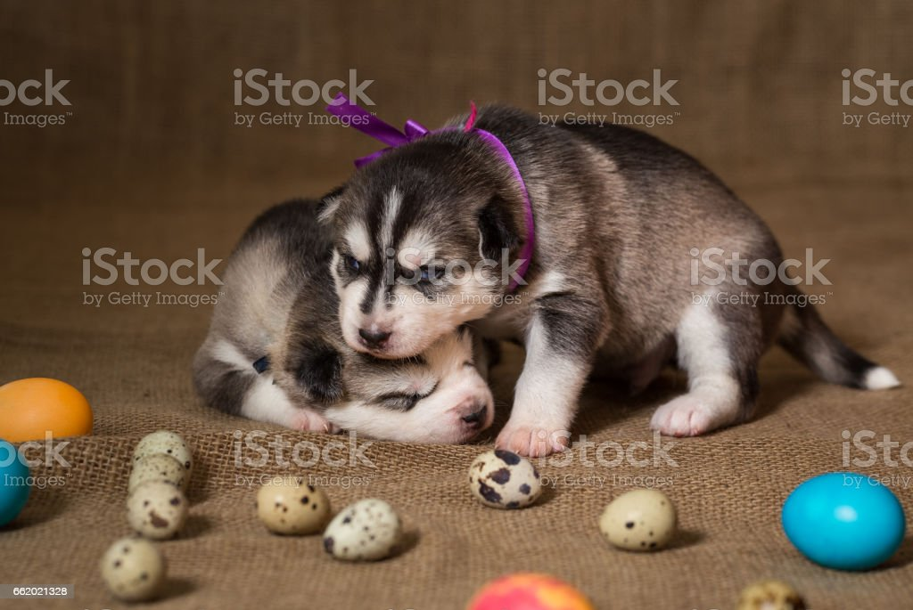 Puppies of Siberian Husky playing among the Easter eggs. royalty-free stock photo