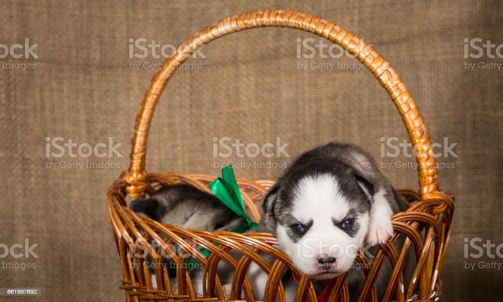 Puppies of the Siberian Husky in a basket. royalty-free stock photo