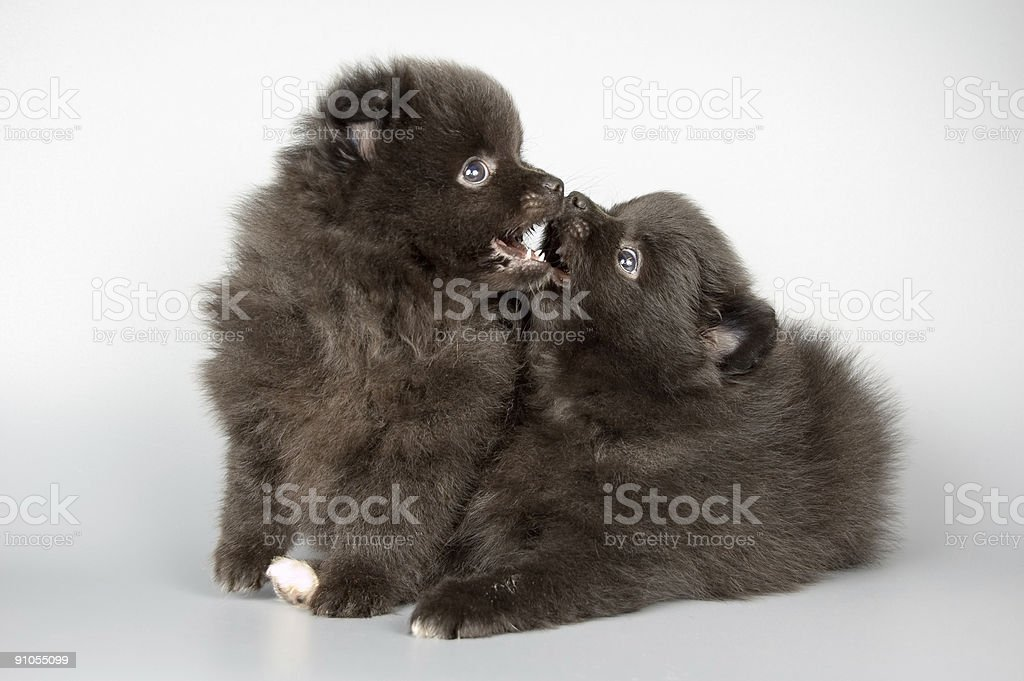 Puppies of the spitz-dog royalty-free stock photo