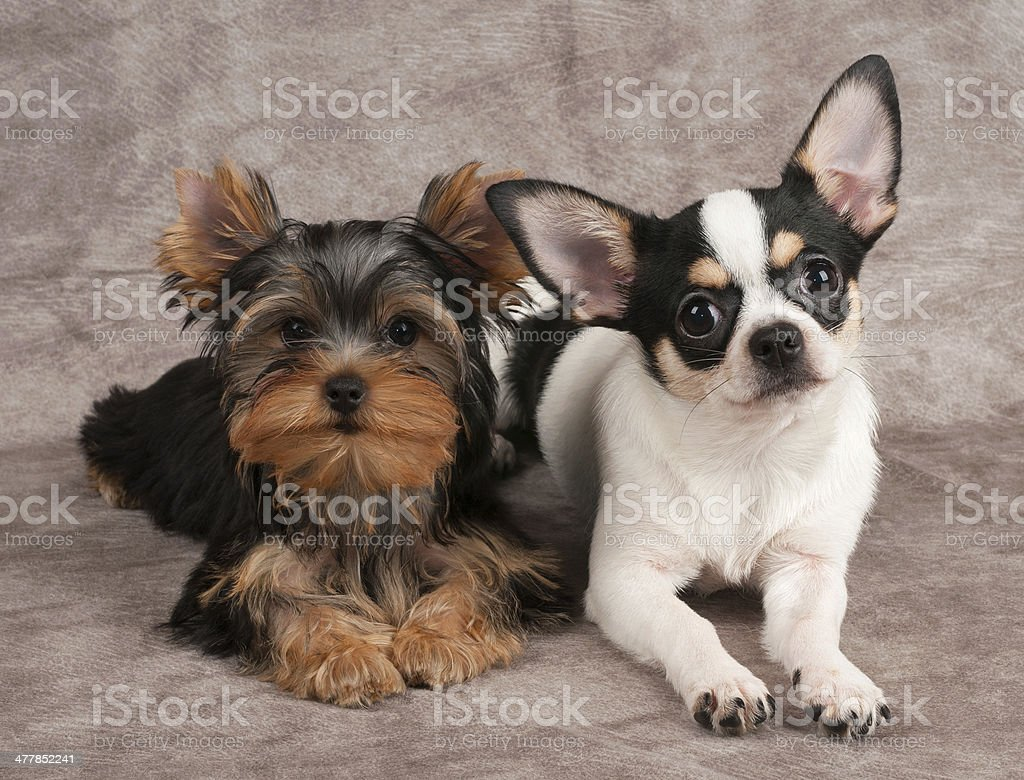 Puppies of Yorkshire Terrier and Chihuahua royalty-free stock photo