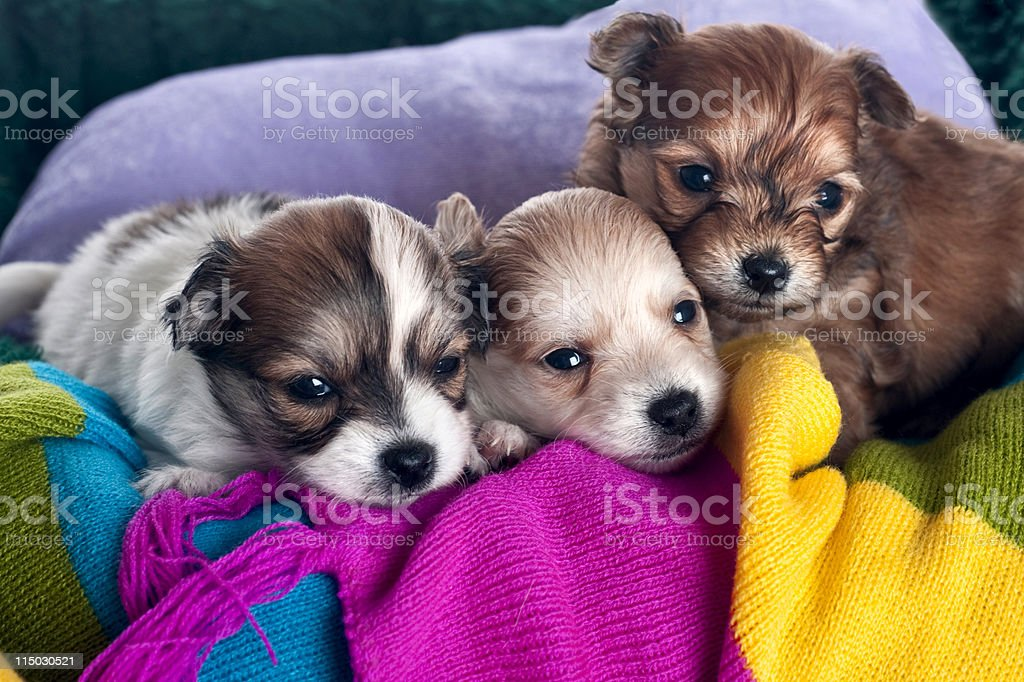 puppies on a scarf royalty-free stock photo