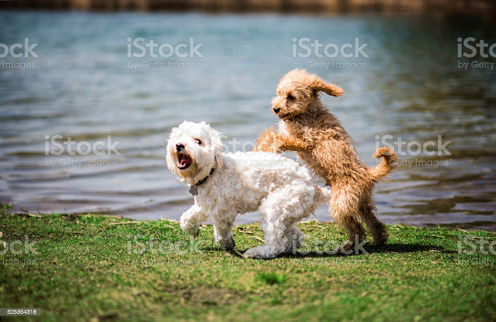 Puppies Playing by the Pond stock photo