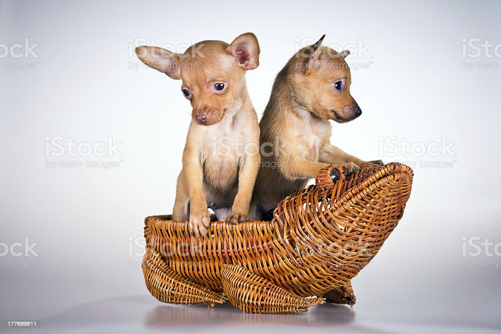 Puppies Russian toy terrier stock photo